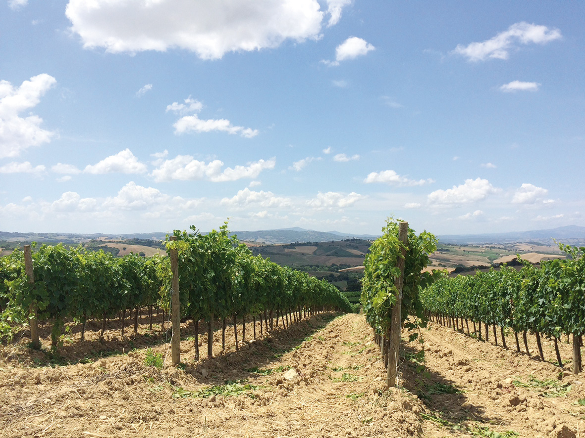 Montecucco Vineyards